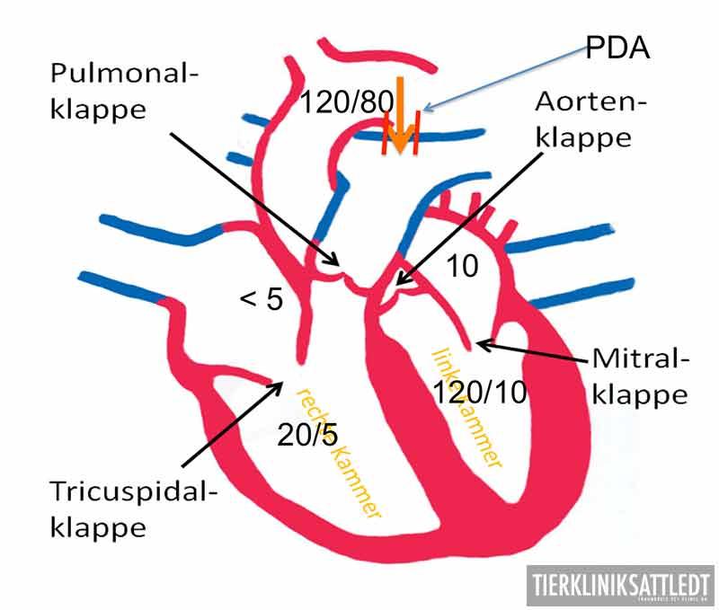 Herzerkrankungen beim Hund Bild5